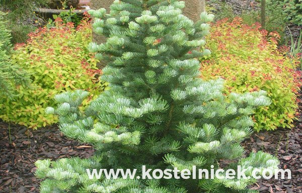 Abies x koreacarpa 'Merlin'