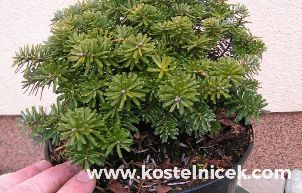 Abies koreana 'Brillant'