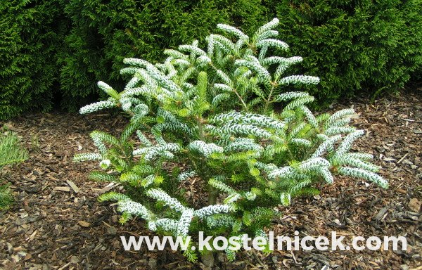 Abies koreana 'Frosty'