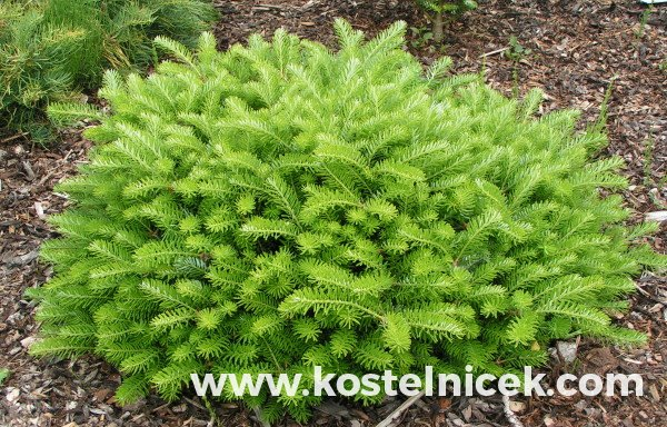 Abies koreana 'Green Carpet'