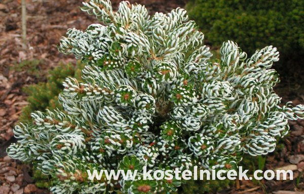 Abies koreana 'Icecracker'