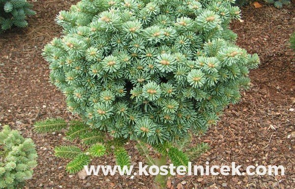 Abies lasiocarpa 'Alpine Beauty'