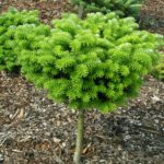 abies koreana cis