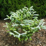 abies koreana frosty
