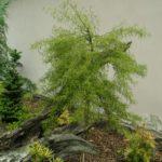 betula verrucosa asplenifolia compacta 3