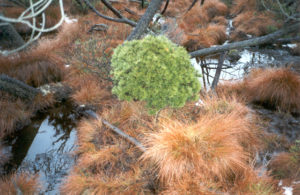 čarověnik v rašeliništi Pinus x pseudopumilio