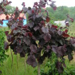 corylus avellana red majestic 2