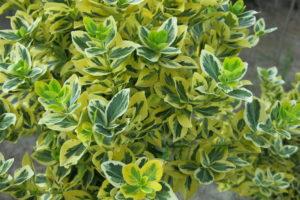euonymus fort. emeraldn gold na kminku detail
