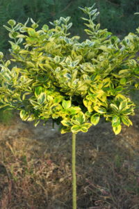 euonymus fort. emeraldn gold na kminku velkolista forma