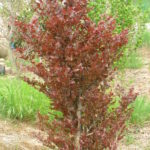 fagus sylvatica nana purpurea 2