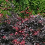 fagus sylvatica rohann weeping detail