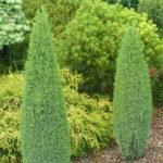 juniperus communis miniatur osterreich