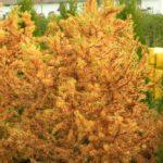 larix kaempferi little bogle podzimni vybarveni