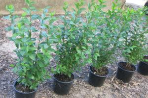 ligustrum ovalifolium prodejni rostliny v rade 1