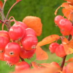 malus sp. evereste plody 2