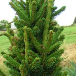 picea abies katryna