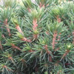 picea abies tompa detail jehlic