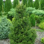 picea abies wills zwerg