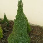 picea glauca arnesons blue variegated