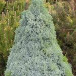 picea glauca arnesons blue variegatet