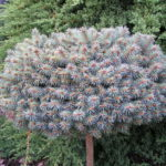 picea glauca fat albert