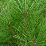 pinus densiflora henri bud detail jehlic