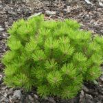 pinus densiflora low glow 1