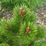 pinus leucodermis karmel jarodetail pupenu