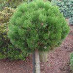 pinus leucodermis pirin 2