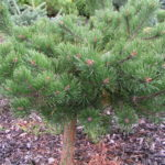 pinus mugo green shadow