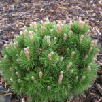 pinus mugo heideperle