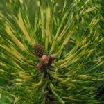 pinus mugo sunshine detail jehlic na
