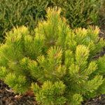 pinus mugo wintergold