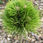 pinus nigra de gaulle