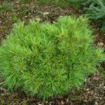 pinus parviflora bergman ontario