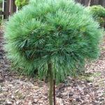 pinus parviflora bergman s ontario