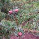 pinus parviflora zuisho detail sisek