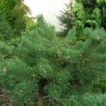 pinus sylvestris albyns