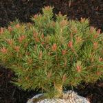 pinus sylvestris longmoore