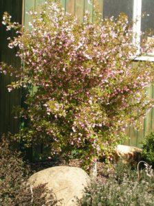 prunus incisa kojou no mai kveteni 3