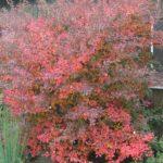 prunus incisa kojou no mai pocatek podzimniho vybarveni 2