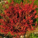 prunus incisa kojou no mai podzim 2