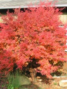 prunus incisa kojou no mai podzimni vybarveni 2