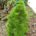 sciadopitys verticilata grune kugel