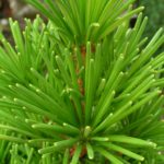 sciadopitys verticilata grune kugel detail