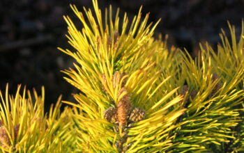 pinus mugo golden glow detail